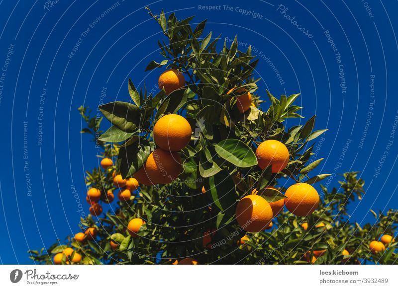 Close up of an orange fruit tree on deep blue sunny sky in Spain natural citrus ripe spain agriculture food vitamin tangerine organic green nature branch summer