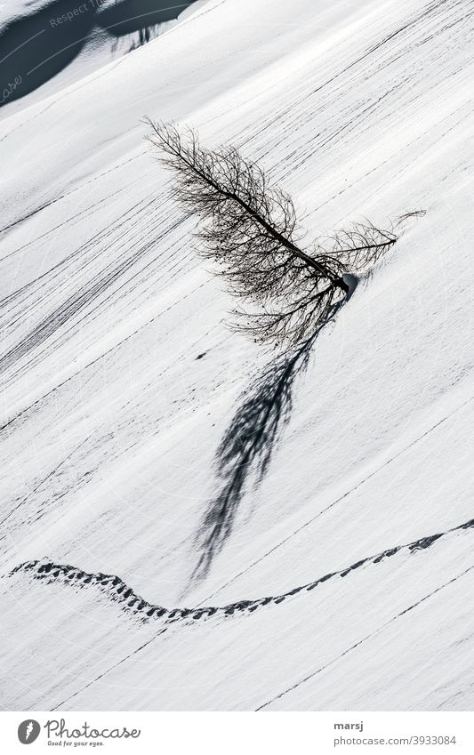 Not everyone is as they should be. Sometimes it helps to step out of line. Snowfield with trail and sloping larch. tracks in the snow Winter magic snowfield