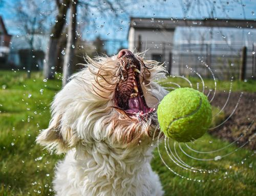 Dog catching wet ball with open mouth Dog playing Catch dog Dog ball Mouth open Open Tennis ball Water Wet dog training Animal Pet Funny Outdoors