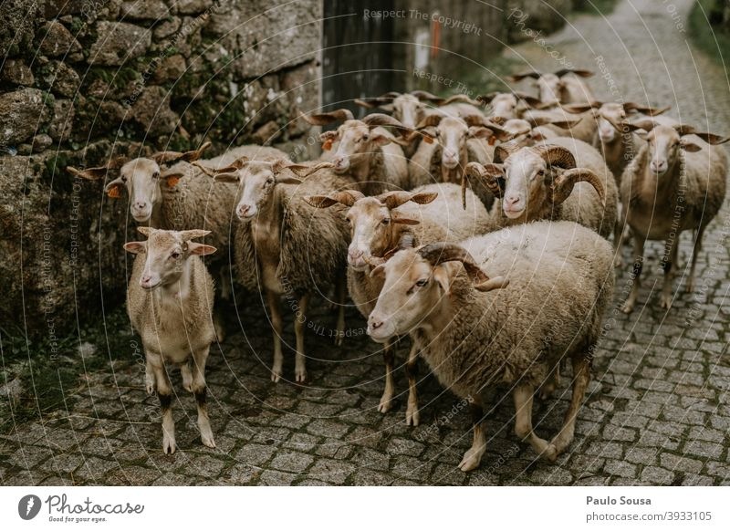 Group of sheeps Sheep Herd Farm animal Meadow Group of animals Exterior shot Flock Colour photo Animal Landscape Deserted Grass Day Wool Agriculture Lamb's wool