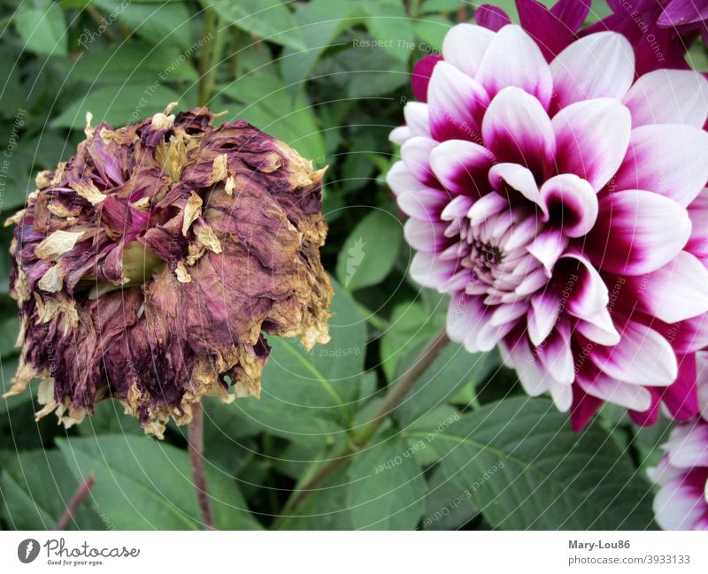 Withered flower and fresh flower side by side Flower Blossom withered Fresh vivacious Shriveled Transience Life life and death carpe diem Nature out