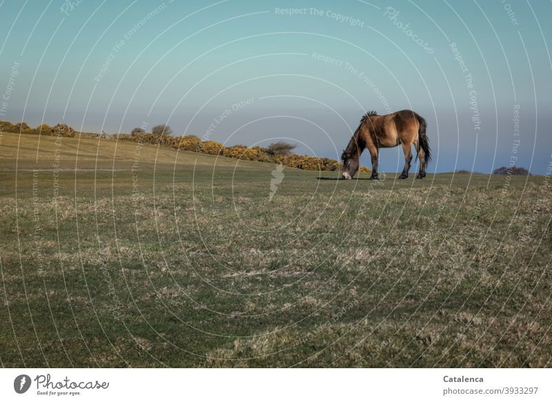 The Dartmoor pony grazes undisturbed on the cliff, in the background blooming gorse, the sea and the sky Horizon Nature daylight Day Landscape Cold Grass Meadow