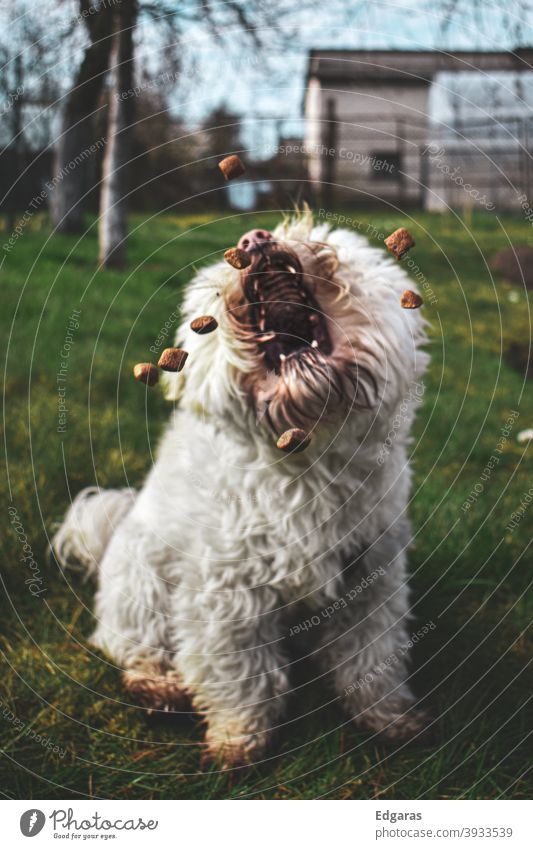 A dog catching food with open mouth Dog Dog food Dog catching Dog eating Eating Open Mouth White
