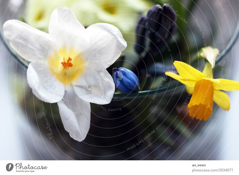 SPRING MESSENGERS daffodil Crocus Blossom Spring Flower Plant Nature Colour photo Yellow Wild daffodil Blossoming Deserted Macro (Extreme close-up)