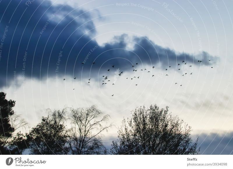 circling over the trees one more time before it gets dark birds Flock of birds melancholically Flight of the birds flock of birds flying birds Poetic
