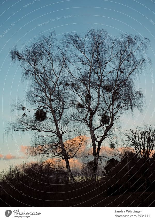 Bare tree crown with mistletoe in winter twilight Sky Nature Treetop Blue Bleak Landscape Winter Cold Exterior shot Deserted Branch Colour photo Environment Day