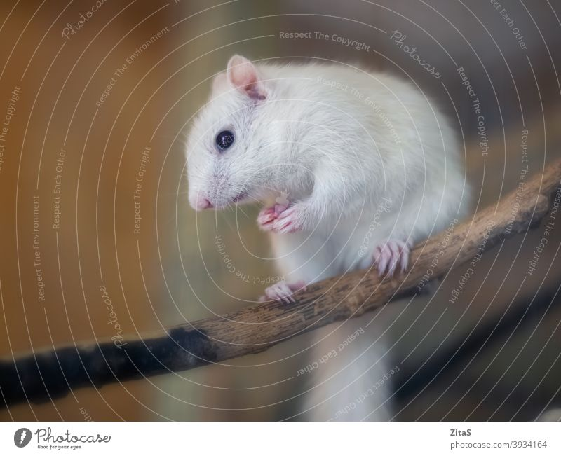 Cute white albino squirrel sitting on a branch cute fur furry animal wild pet wildlife mammal rodent nature wood