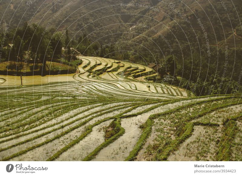 Beautiful scenic view of traditional terraced rice paddy in Sa pa, Vietnam rice terraces sa pa vietnam vietnamese countryside agriculture livelihood farming
