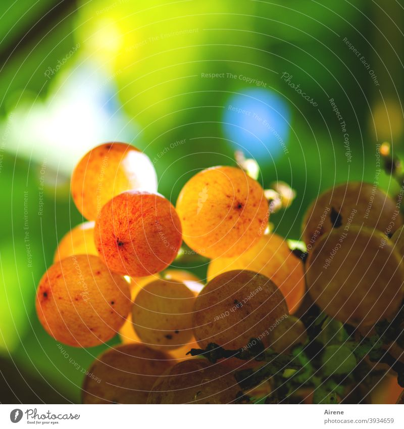 there will be wine Bunch of grapes Autumn luminescent Red Juicy golden Mature vigorously Sunlight Vineyard Orange Red wine White wine Rose vine Grapes Fruit