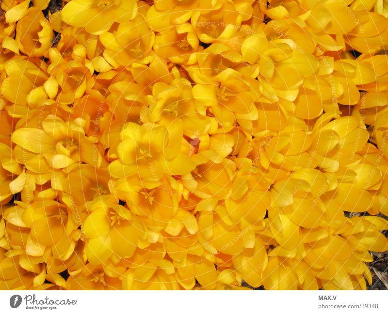 crocuses Crocus Yellow Blossom Spring Bulb flowers Plant