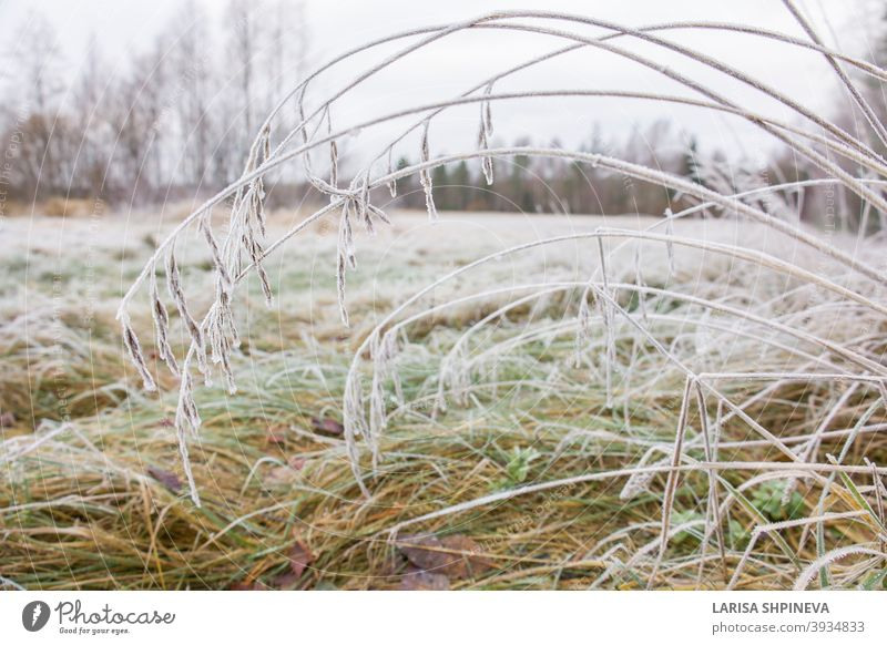 Froze lush green grass with ice crystals on natural blurry background. Natural landscape in winter. Fog with tender bokeh. Close-up, copy space nature plant