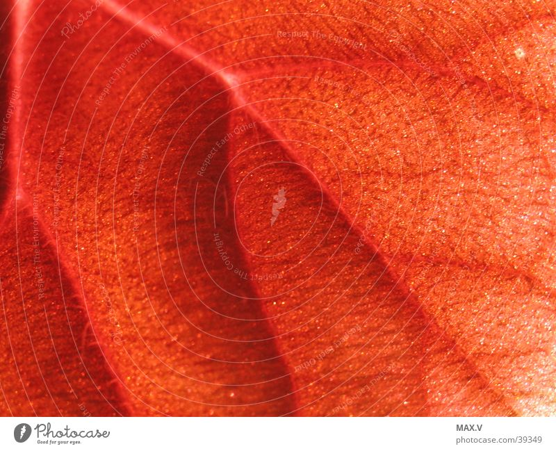 leaf veins Red Brown Vessel Leaf Hair and hairstyles Detail