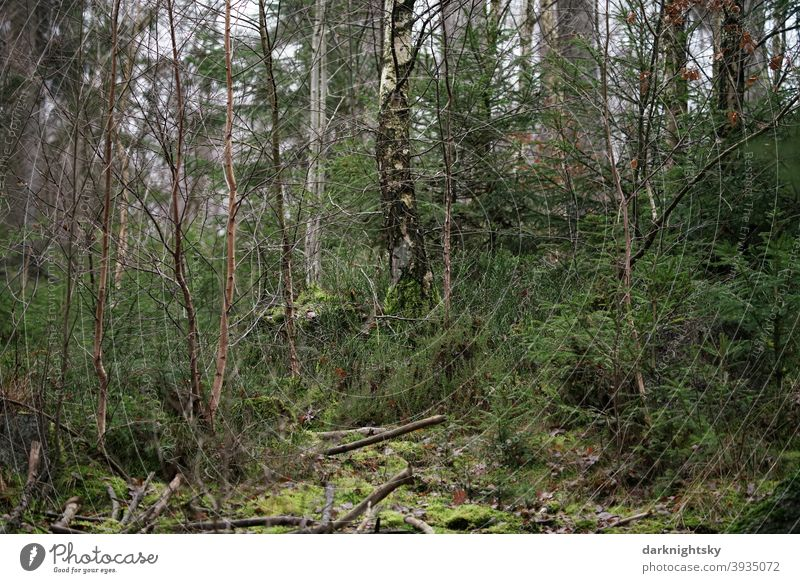 Mixed forest with birch and spruce, deadwood and mosses. Scene tribes clearing Adventure Calm slope Coniferous forest fir forest Harmonious Environment Plant