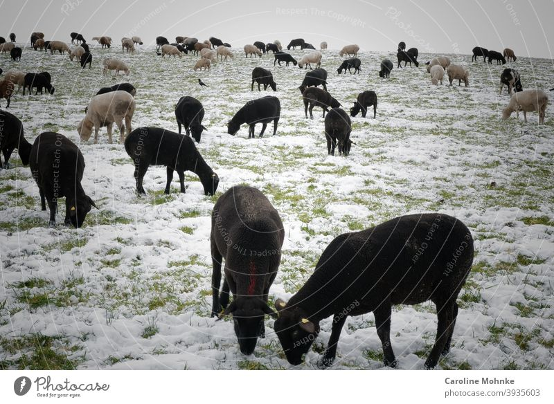 Black and white sheep in winter. Visit of a rabbit. Sheep Winter Farm animal Nature Exterior shot Landscape Flock Group of animals Herd Colour photo Meadow