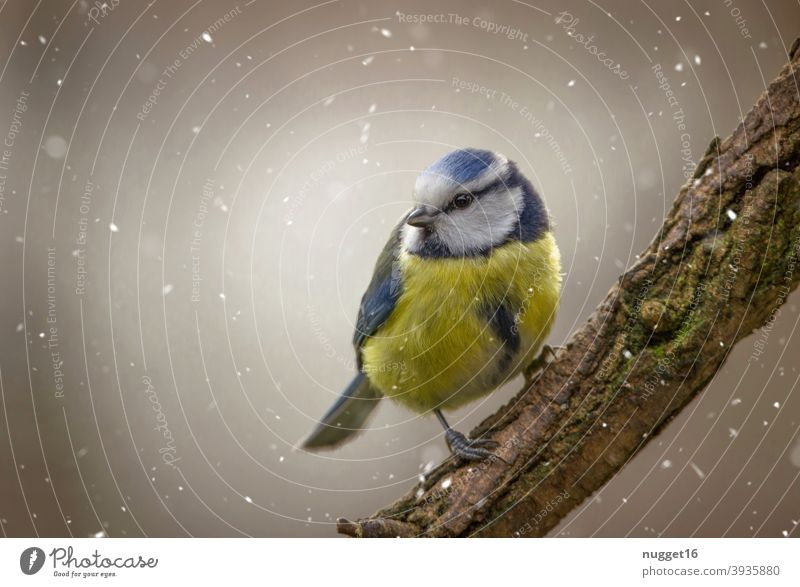 Blue tit on branch Bird Nature Animal Exterior shot Colour photo 1 Wild animal Animal portrait Environment naturally Day Deserted Shallow depth of field