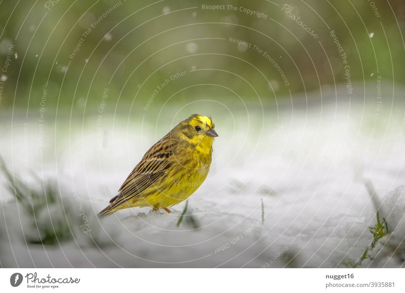 Yellowhammer in the snow Nature Animal Exterior shot Colour photo 1 Wild animal Animal portrait Environment naturally Day Deserted Shallow depth of field
