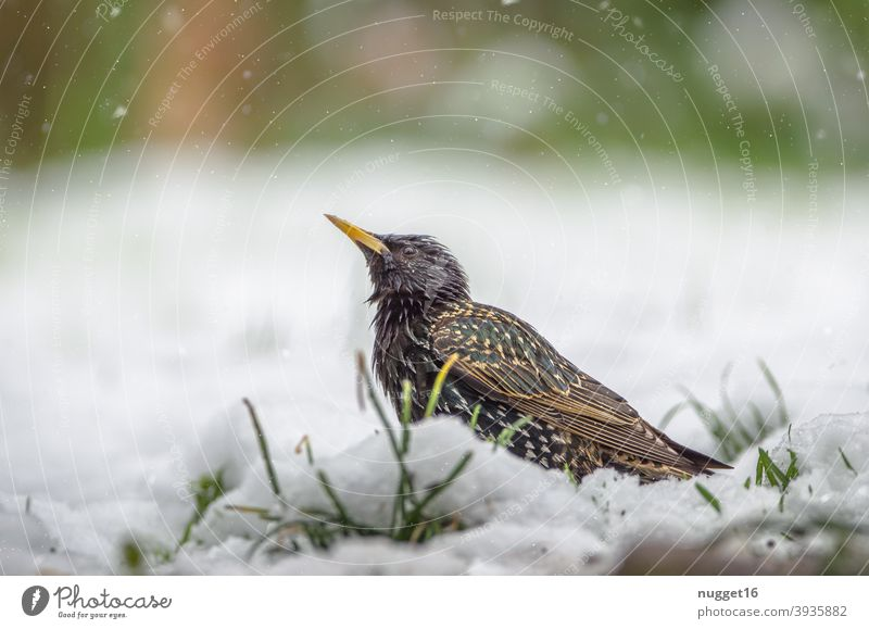 Star in the snow Nature Animal Exterior shot Colour photo 1 Wild animal Animal portrait Environment naturally Day Deserted Shallow depth of field Full-length