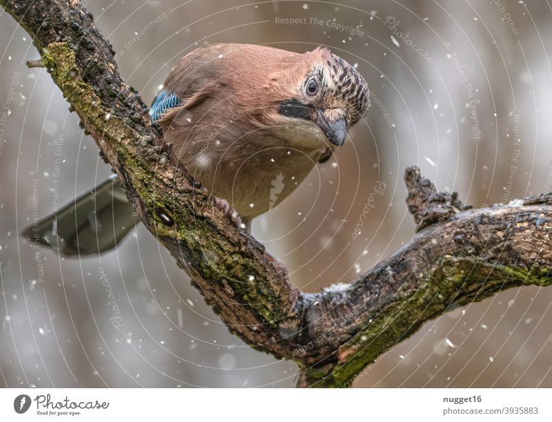 Jay on branch Bird Nature Animal Exterior shot Colour photo 1 Wild animal Animal portrait Environment naturally Day Deserted Shallow depth of field Full-length