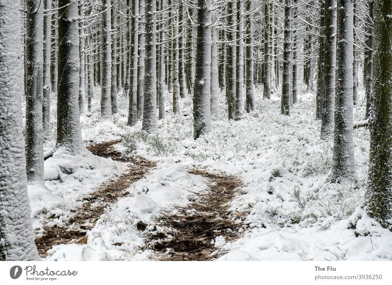Spruce forest in winter with snow spruces Tree Forest Nature Exterior shot Deserted Monoculture Forestry Wood Snow Winter Frost Coniferous forest Cold