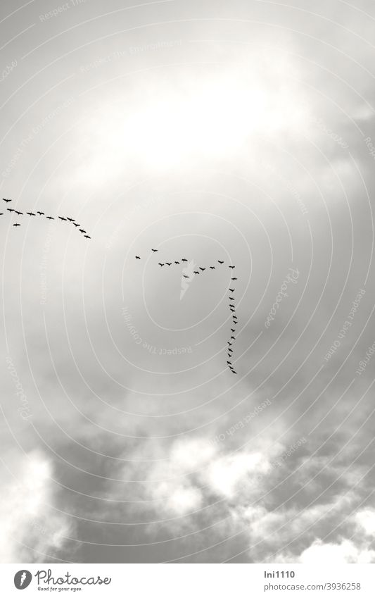 small chain of cranes in the sky have found connection Cranes in the sky Bird Migratory bird Formation grey sky Clouds Journey to the south Late December