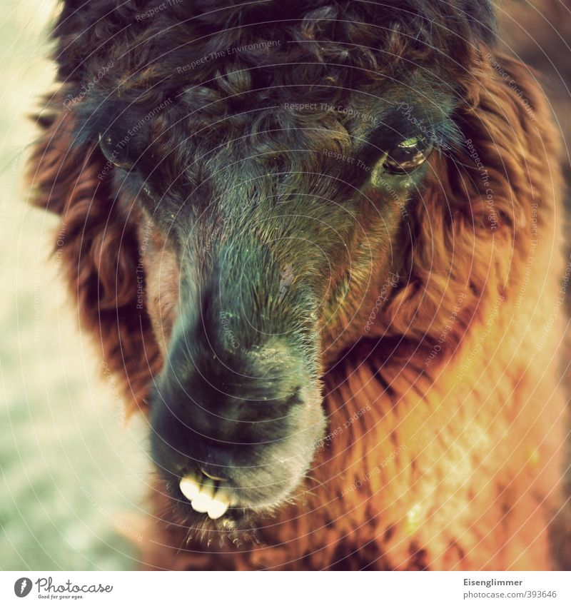 Animal Eyes Funny Head Tilt Pelt Set of teeth Whimsical Snout Llama