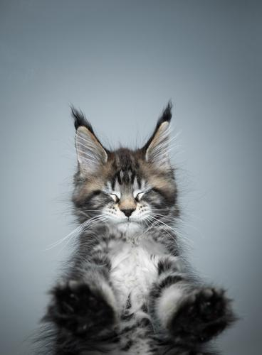 cute maine coon kitten standing on glass table eyes closed cat purebred cat pets maine coon cat fur fluffy feline adorable beautiful one animal bottom view