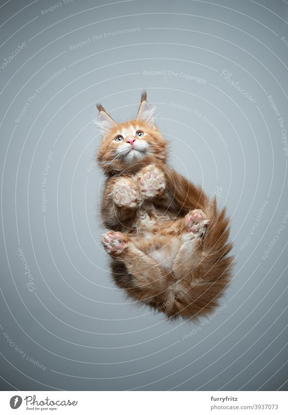 cute maine coon kitten bottom view sitting on glass table cat purebred cat pets maine coon cat fur fluffy feline adorable beautiful one animal copy space paws