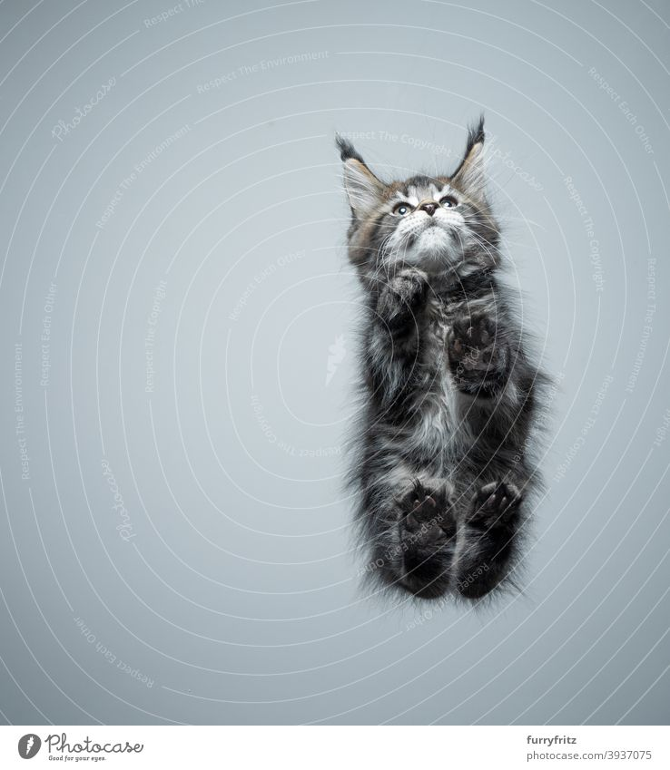 bottom view of maine coon kitten on glass table cat purebred cat pets maine coon cat fur fluffy feline cute adorable beautiful one animal copy space paws below