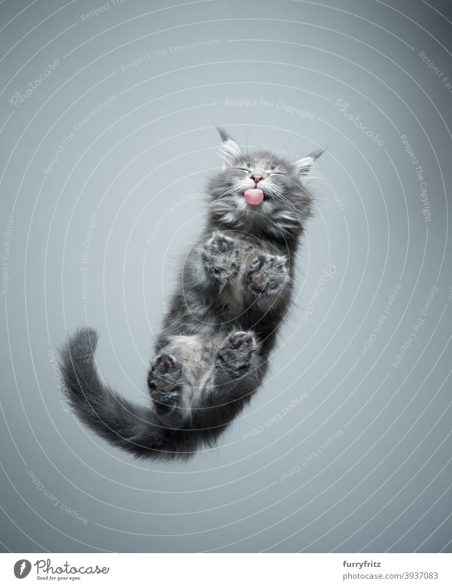 bottom view of cute kitten licking glass table cat purebred cat pets maine coon cat fur fluffy feline adorable beautiful one animal copy space paws below funny
