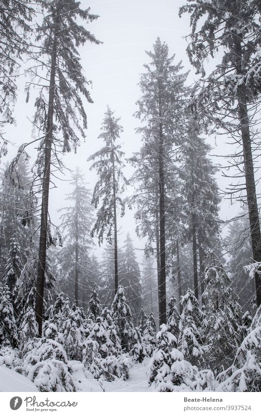 TT: sad firs Winter Forest Black Forest Snow Gray Gloomy dreariness Nature White Cold Landscape Exterior shot Tree Bad weather Deserted Frost Forest death