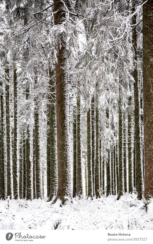 Ordered nature: parallel aligned trees in the snow Nature Arrangement perpendicular Winter Snow Forest Black Forest White Forest Landscape Exterior shot