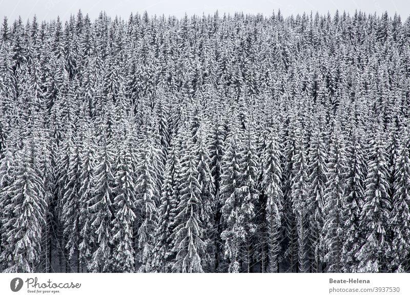 Winter landscape Black Forest fir forest black-white Snow White Deserted Landscape Plant Nature Tree Frost Black & white photo Cold Weather Exterior shot