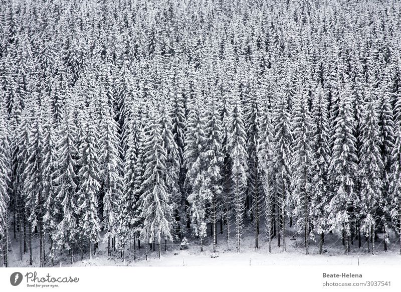 In the black and white forest: snow covered fir trees in the black forest black-and-white Forest Snow snow-covered Fir tree Winter Ice Snowscape Nature Tree