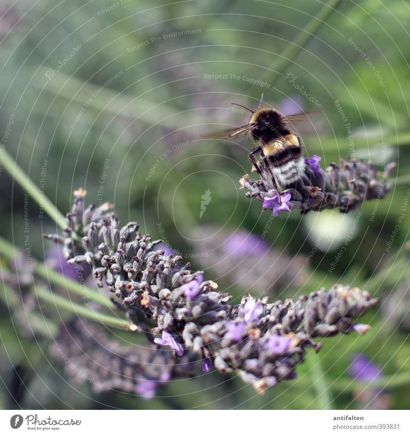 Have a good flight Nature Plant Spring Summer Beautiful weather Flower Grass Leaf Blossom Lavender Lavender field Garden Park Meadow Animal Bee Wing 1 Flying