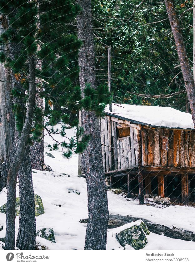 Lonely wooden house in snowy coniferous forest in winter tree nature woods cabin lush woodland spruce evergreen shabby serene calm frost harmony pine silent