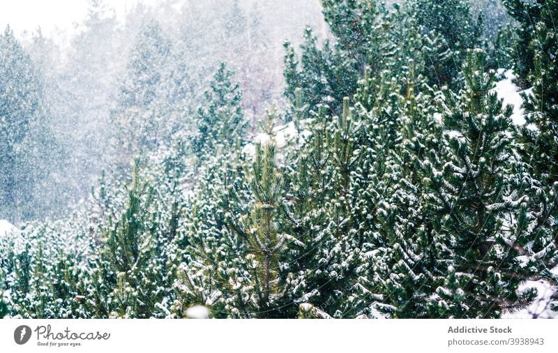 Coniferous forest under snow tree nature outdoor winter christmas frozen season freshness ice branch coniferous horizontal snowflake snowing climate pine sky