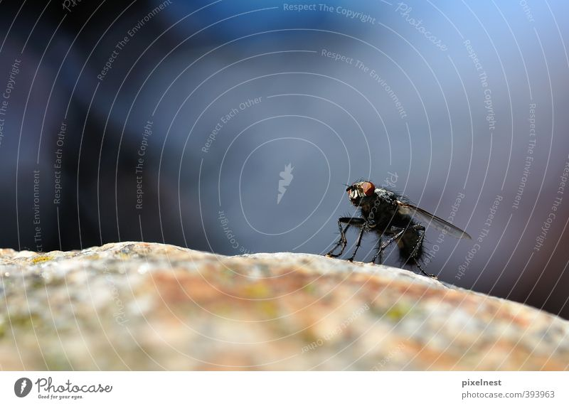 Ready for takeoff Animal Rock Hair Fly 1 Stone Observe Crouch Sit Stand Wait Disgust Hideous Small Blue Attentive Calm Boredom Bizarre Nature Environment Insect
