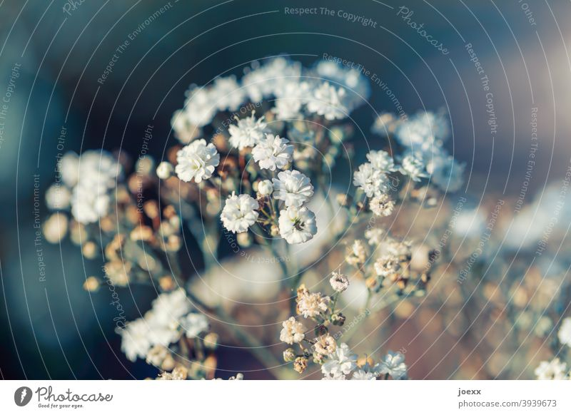 Dainty gypsophila flowers, partly faded, weak depth of field Baby's-breath Blossom Plant White Colour photo Nature Decoration Close-up Flower Day Romance Simple