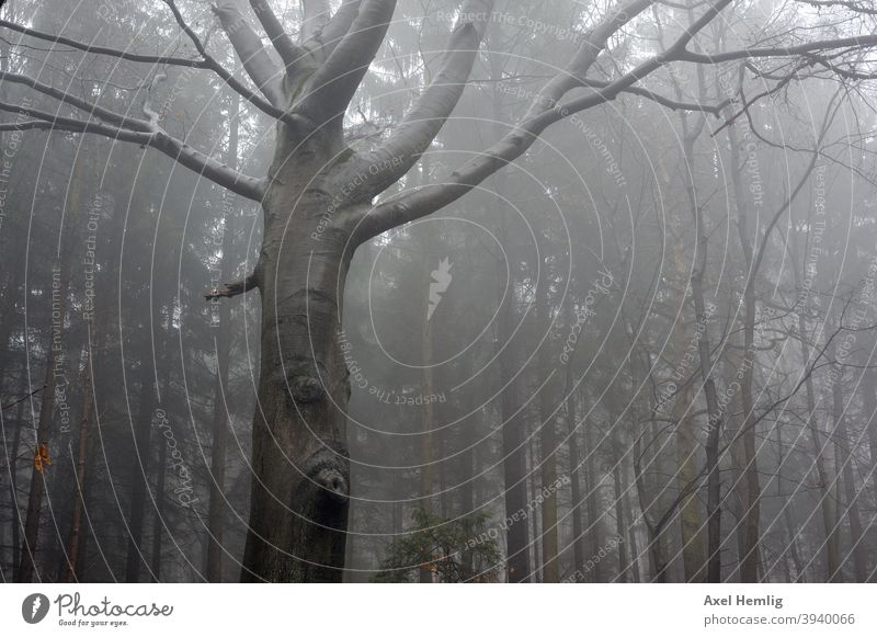 In the misty forest stands a tree with a face. Tree Forest Fog Face erlkönig Beech tree Autumn Winter Forest walk Fear Eerie eerie atmosphere tree face