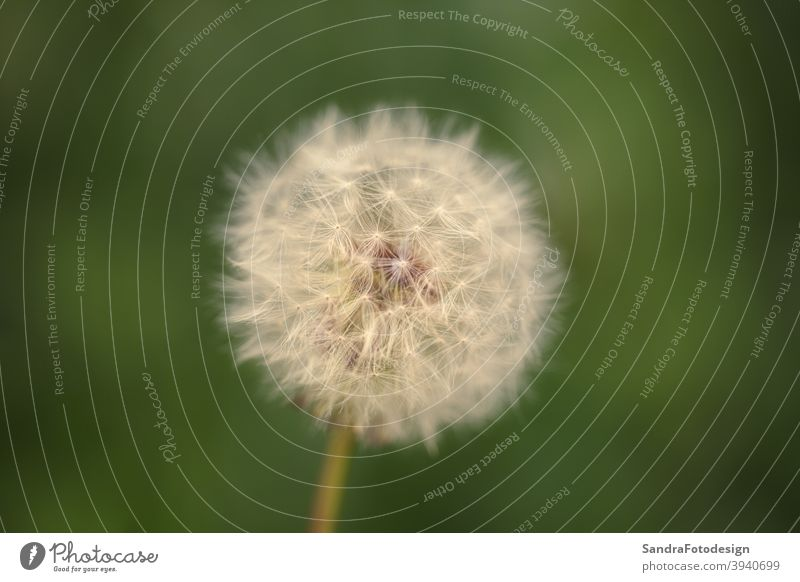 Close up of a dandelion with a soft background blooming blow enviroment environment fine flower grass green natural nature outdoor plant soft bokeh spring