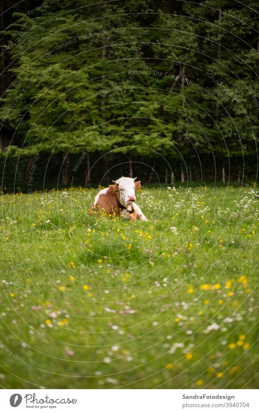 A brown white cow in a green meadow Allgäu Mai 2014 agriculture animal biological biology domestic farm farming filed flowers forrest grass mammal meat milk