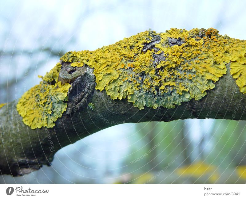 Tree Branch Lichen Common walnut