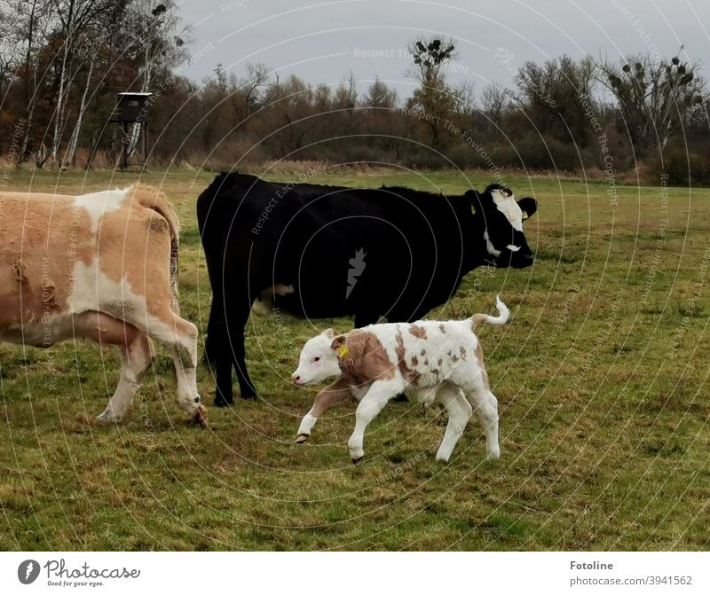 Playtime - or a little calf romping around the adult cattle Calf Calves Cow Cattle Animal Agriculture Farm animal Willow tree Meadow Exterior shot Nature Grass