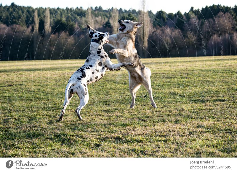 Dogs playing Dalmatian Shepherd dog Playing Nature Meadow Forest Grass battle Force Jump outdoor jump Aggression