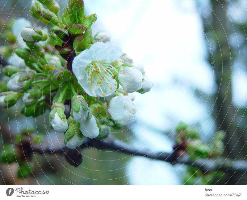 Blossom Spring Cherry blossom Cherry tree