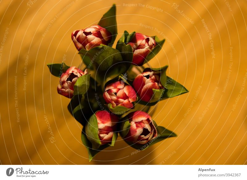 bee perspective tulips Tulip blossom bouquet of tulips Spring Blossoming Bouquet Colour photo Flower Interior shot Decoration Plant Leaf Nature Deserted