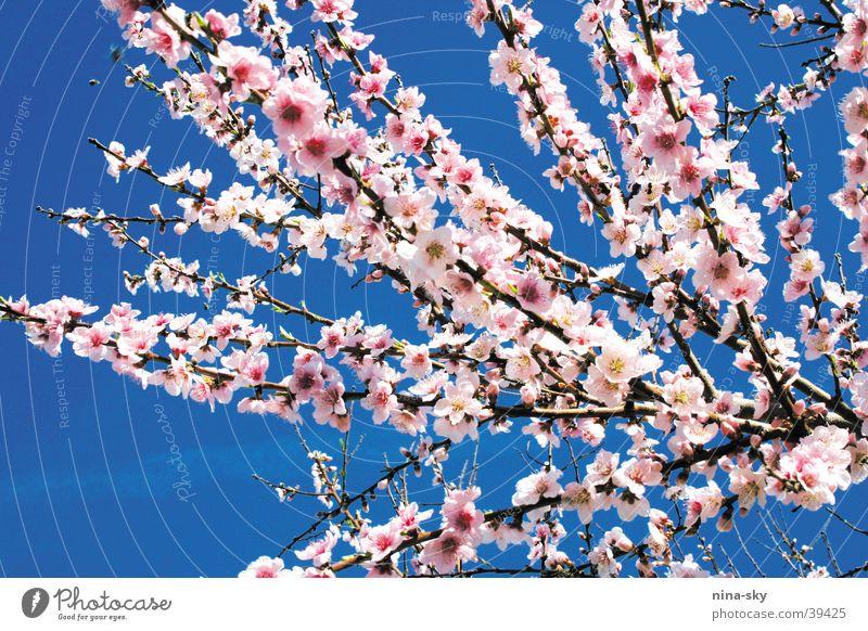 bömkes Flower Blossom Tree Pink Soft Air Bee Sky Blue Branch