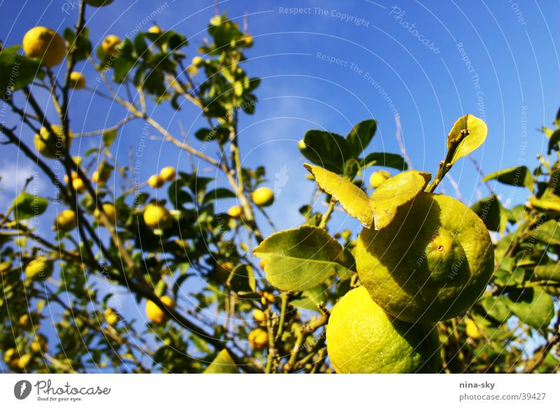 Nature Sky Tree Green Blue Leaf Clouds Yellow Healthy Clarity Branch Anger Lime Fruit