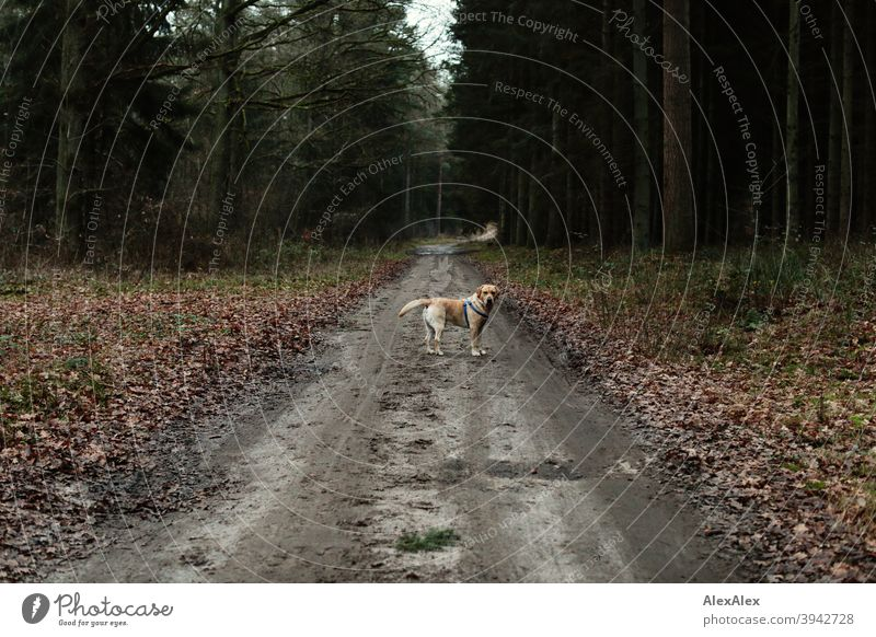 A blond Labrador stands on a forest path and looks around for his master Dog Blonde Forest off Stand Wait look around Autumn Winter Halter trees Idyll foliage