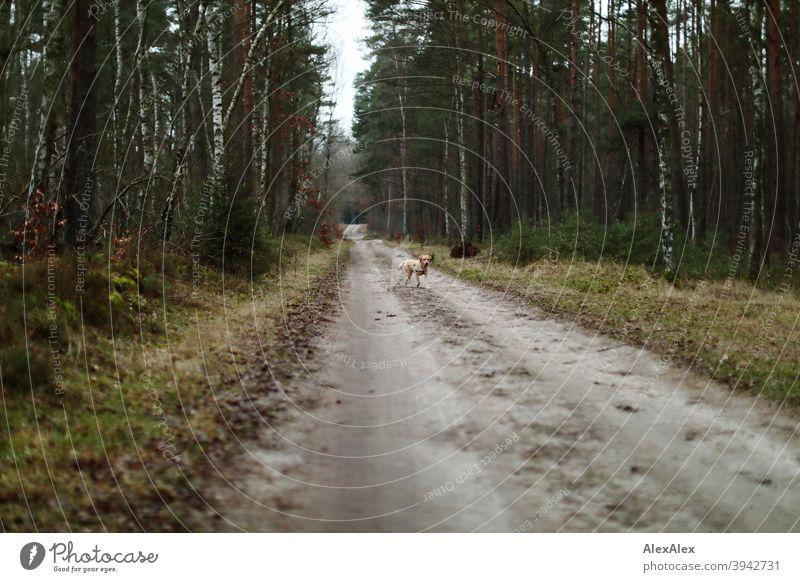 Ein blonder Labrador läuft auf einem Waldweg freudig auf jemanden zu Pfad Hund Haustier Freude laufen draussen Baum Vegetation Bäume Stäucher Herbst Winter